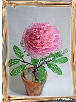 Пион розовый расцвевший